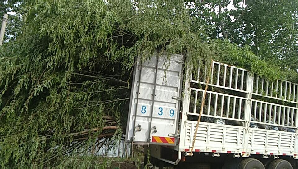 河北保定凯达苗木基地常年供应速生柳 垂柳 榆树