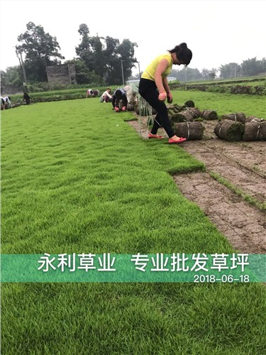 成都高羊茅草坪供应|成都高羊茅草坪销售|成都高羊茅草坪公司|永利供
