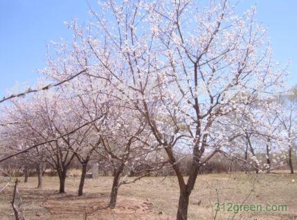 大量供应杏树,需要请到山西省运城市繁茂苗圃