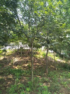 提供南京朴树|21公分朴树的价格是多少了