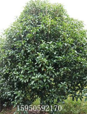 提供山东桂花树的桂花树价格