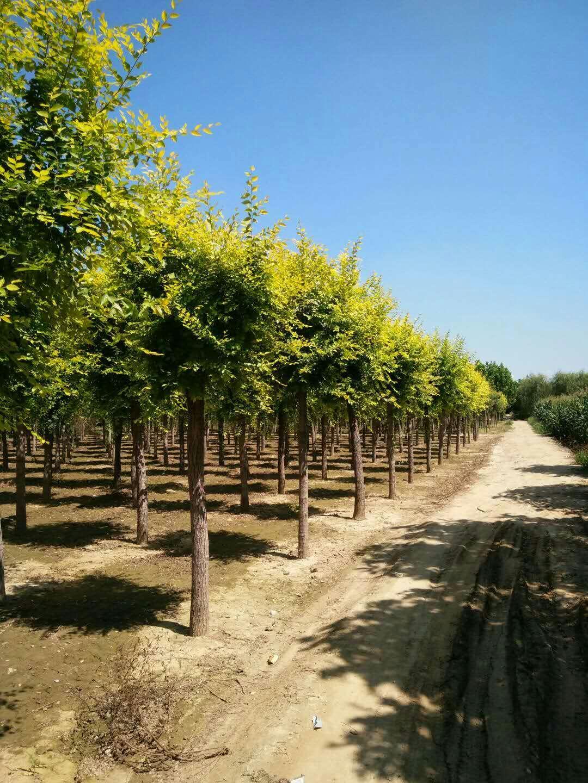 凯达苗木低价垂柳金叶榆