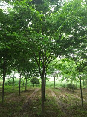 提供榉树~南京榉树价格~9公分榉树价格展示