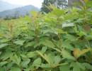 供应檫木马褂木柳杉水杉枫香木荷桤木杜英香樟苗