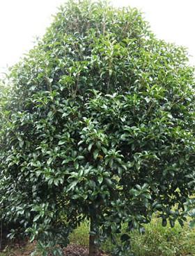 南京桂花苗圃2米桂花价格