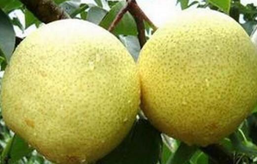 山西文水县批发各种梨 酥梨 雪花梨
