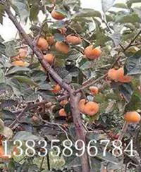 供应80以上阳丰甜柿子树苗