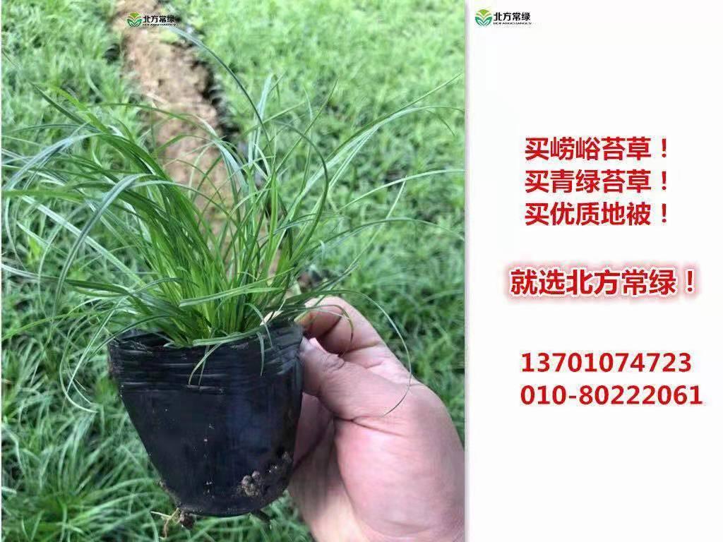 大连崂峪苔草供应价格实惠