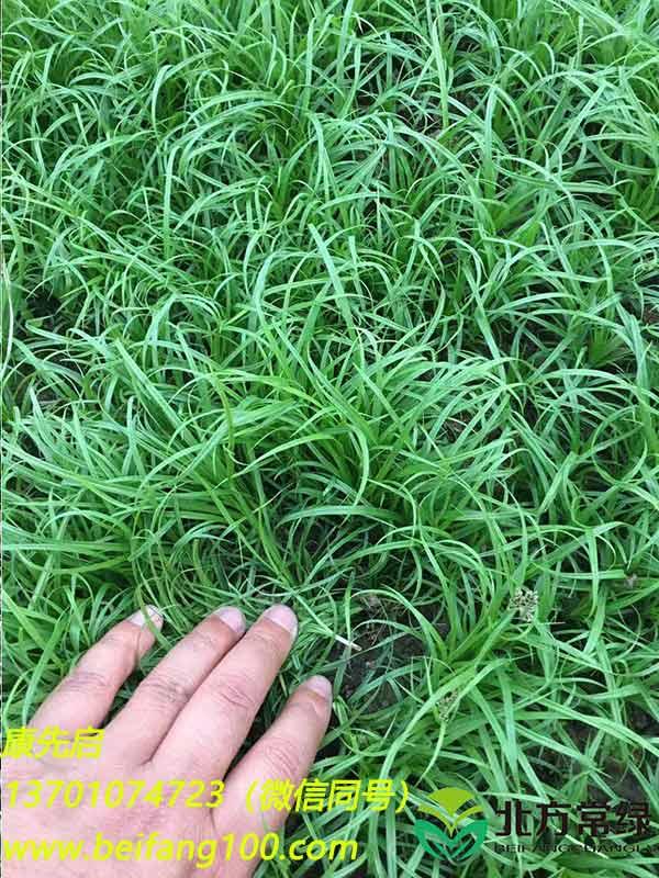 大连大量优质青绿苔草供应