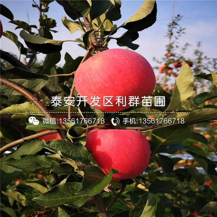 供应烟富10号苹果苗、烟富10号苹果苗价格及报价