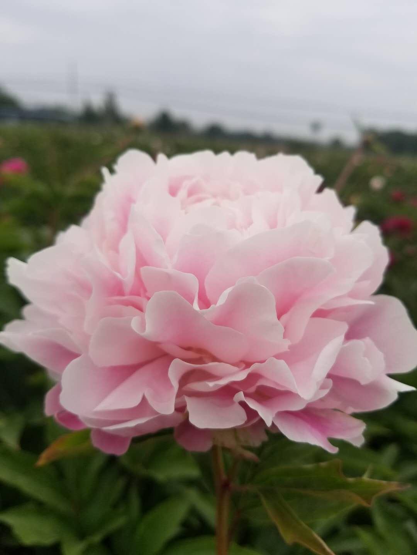 供应芍药、庭院观赏芍药种苗