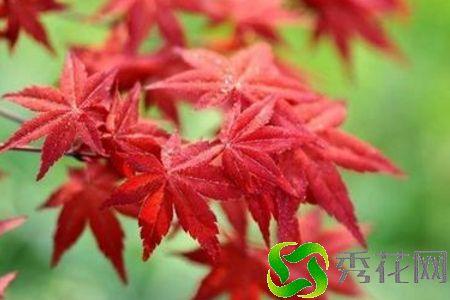 永州蓝山县红枫 哪家好?