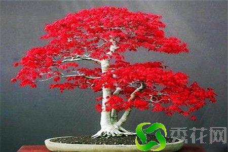 宿州��桥区红枫 常年批发