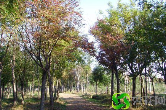 湘西古丈县榉树 货源充足