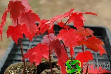 甘孜雅江县出售红枫 量大优惠
