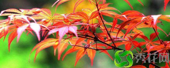 黄冈麻城市红枫 如何种植