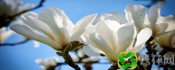 惠州惠东县种植白玉兰如何防虫害?