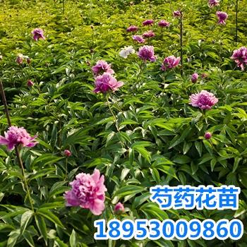 供应观赏芍药苗 菏泽种植基地 量大优惠
