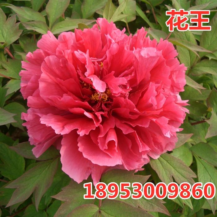 供应菏泽牡丹花苗,花王牡丹,红色系牡丹品种价格