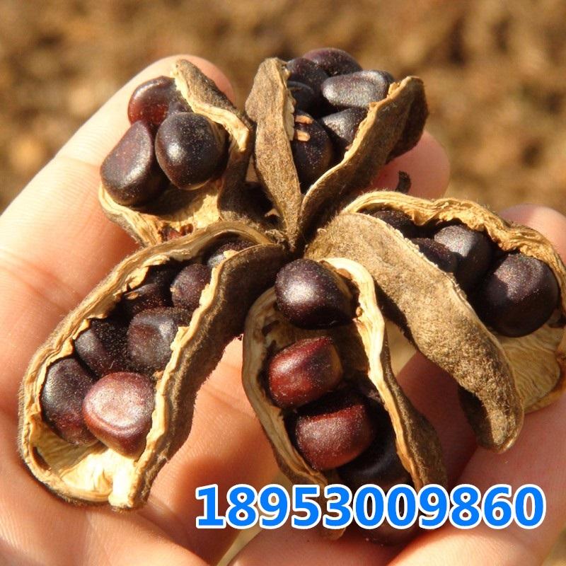 供应油用牡丹种子,高产榨油牡丹品种,紫斑牡丹