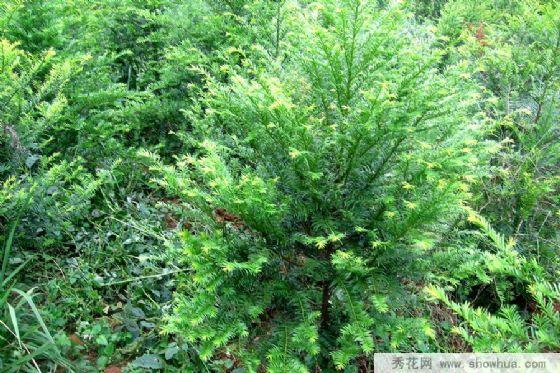 四,栽后管理:南方红豆杉苗生长较慢,栽植后的前几年要精心管理图片