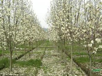 提供南京白玉兰小树苗价格2/3/4公分
