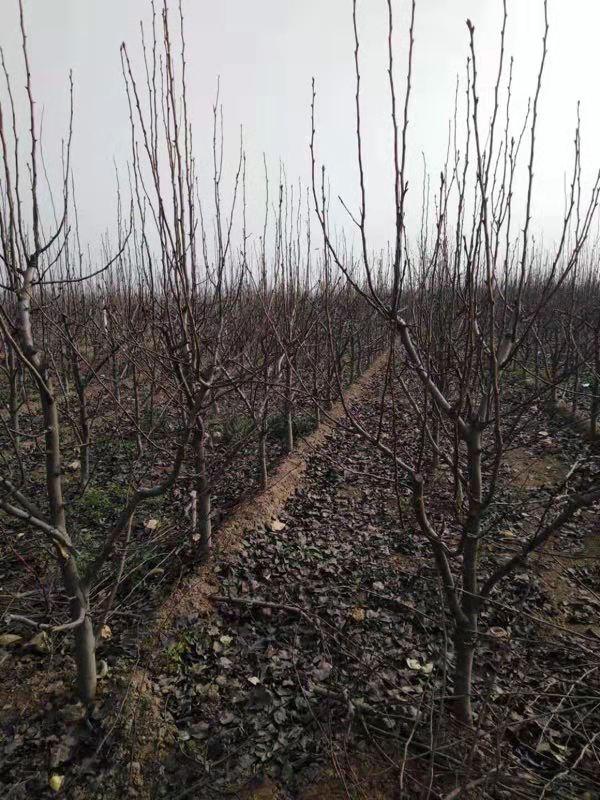 供应梨树苗
