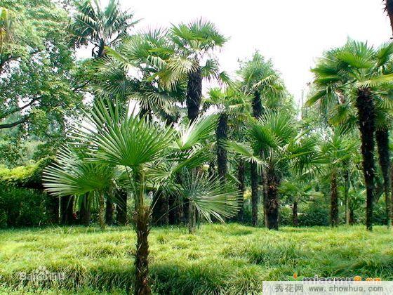 雅安名山县大量出售棕榈