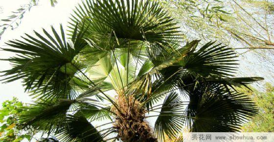 南平政和县种植棕榈需要注意哪些?