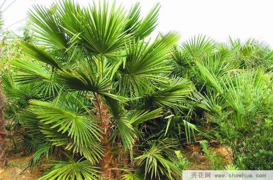 宜宾筠连县棕榈什么价位?