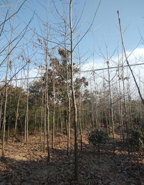 红栎南京红栎价格2.8公分红栎价格是多少