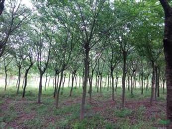 提供南京朴树详细规格的价格展示