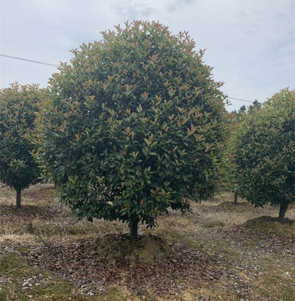 供应河北红叶石楠球;树;苗报价