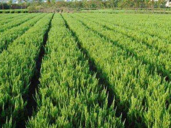 供应绿化苗木卫矛,苇茅,小龙柏,沙地柏,小叶黄杨,