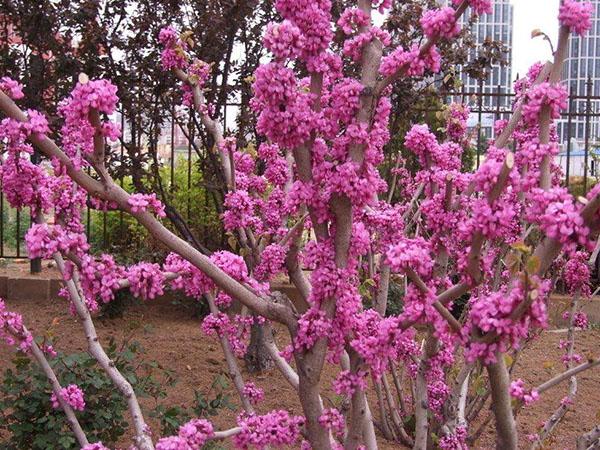 供应紫荆,迎春,珍珠梅,山东产地,服务热线