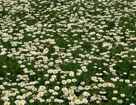 供应白晶菊,金鸡菊基地,天人菊,黑心菊基地,松果菊