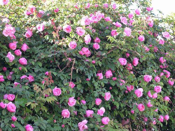 绿化苗木大花蔷薇,粉团蔷薇,香水玫瑰等,哪里有