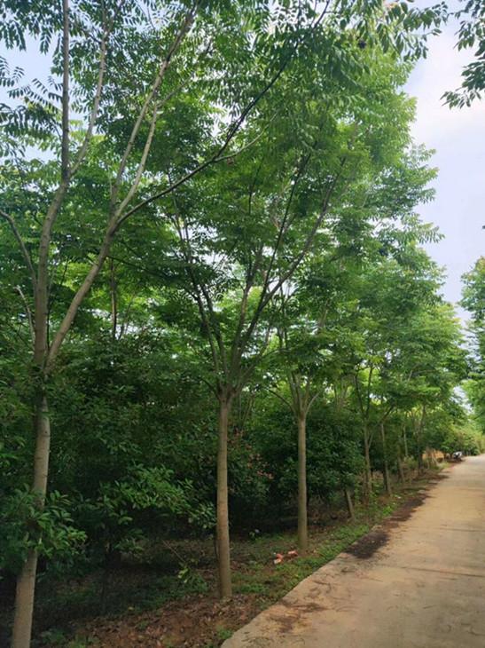 提供栾树/栾树货源地南京栾树价格是多少