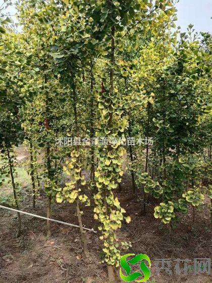 黄山歙县银杏 专业种植