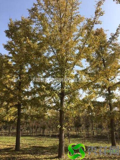通化柳河县种植银杏如何防虫害?