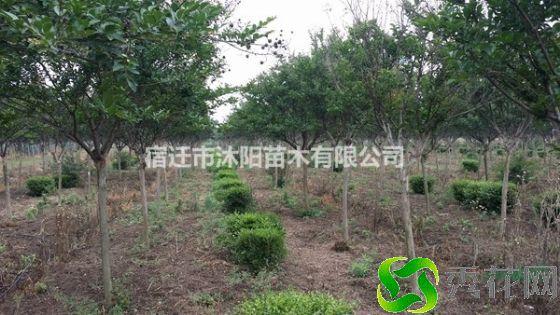 铜陵铜官山区5公分~10公分紫薇树苗怎么卖?