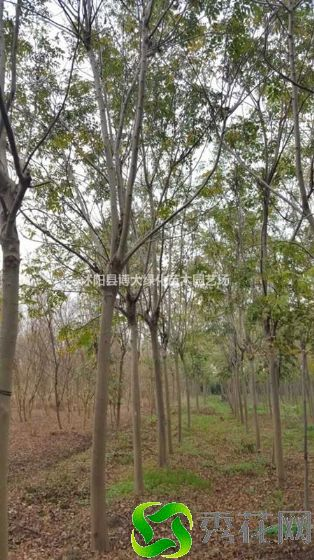 乌鲁木齐乌鲁种植栾树需要注意哪些?