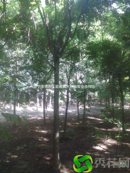 锡林郭勒盟东种植栾树如何防虫害?