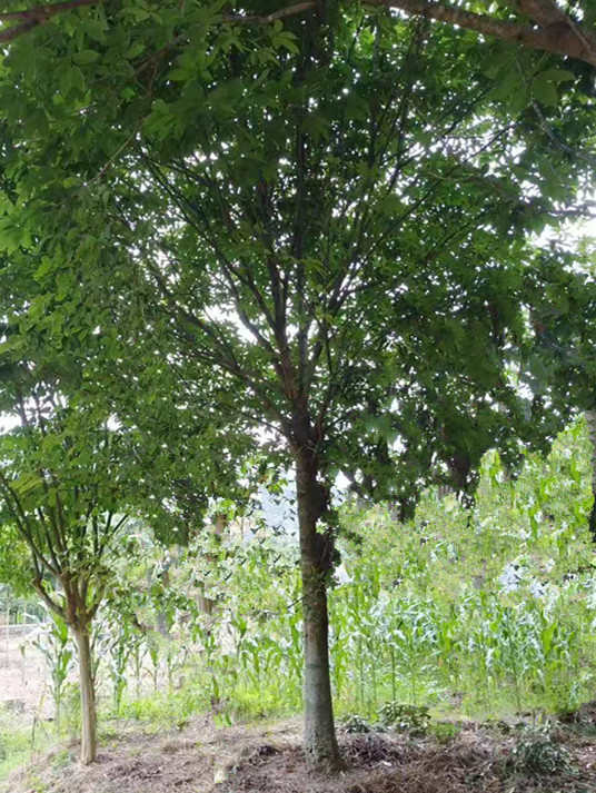 提供场地朴树南京朴树21公分的价格是多少钱