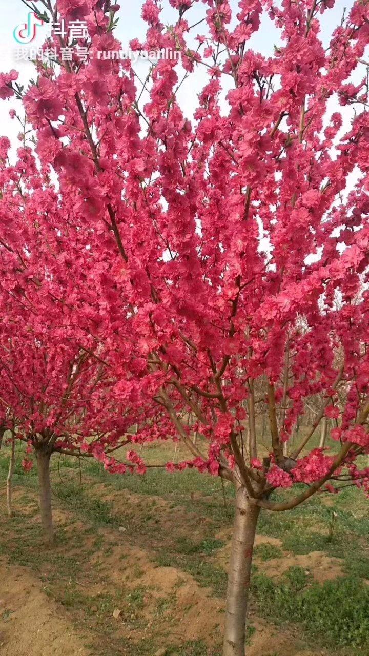 寒红碧桃开红花