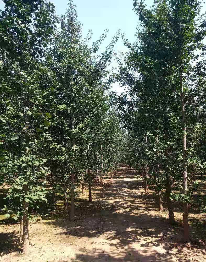 提供2020年银杏树价格