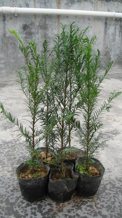 供应红豆杉袋苗 红豆杉杯苗 红豆杉小苗价格