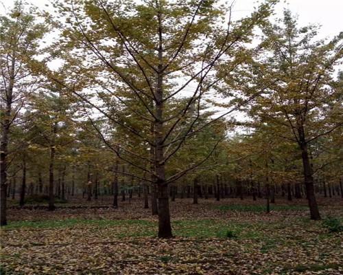 供应2020年银杏树基地