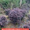 供应红花��木  道路景观  园林绿化