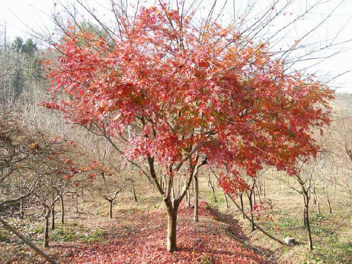 江苏盐城鸡爪槭4-7公分